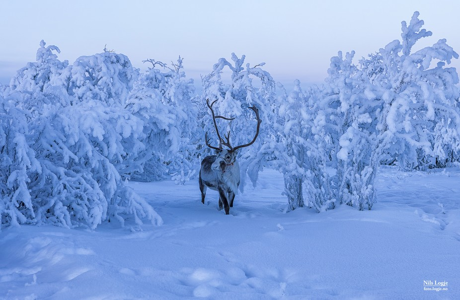 Reindeer in winter wonderland
