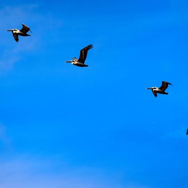 Four Pelicans Flying in Line