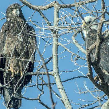 Eagles at Twassen Jan 2019