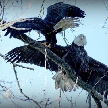 Two Eagles jostling for a perch at Twassen B C