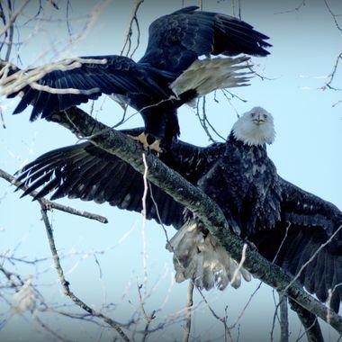 Two Eagles jostling for a perch at Twassen B C