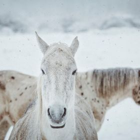 Two white horses in white snowy winter