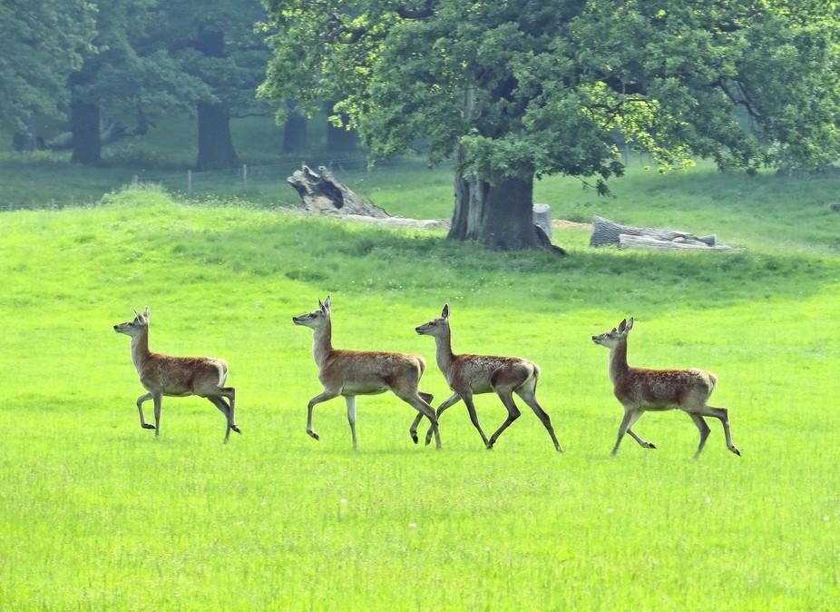 Chatsworth deer trot