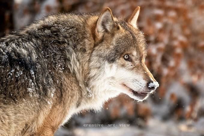 Alpha by CreativeArtView - Winter Wildlife Photo Contest