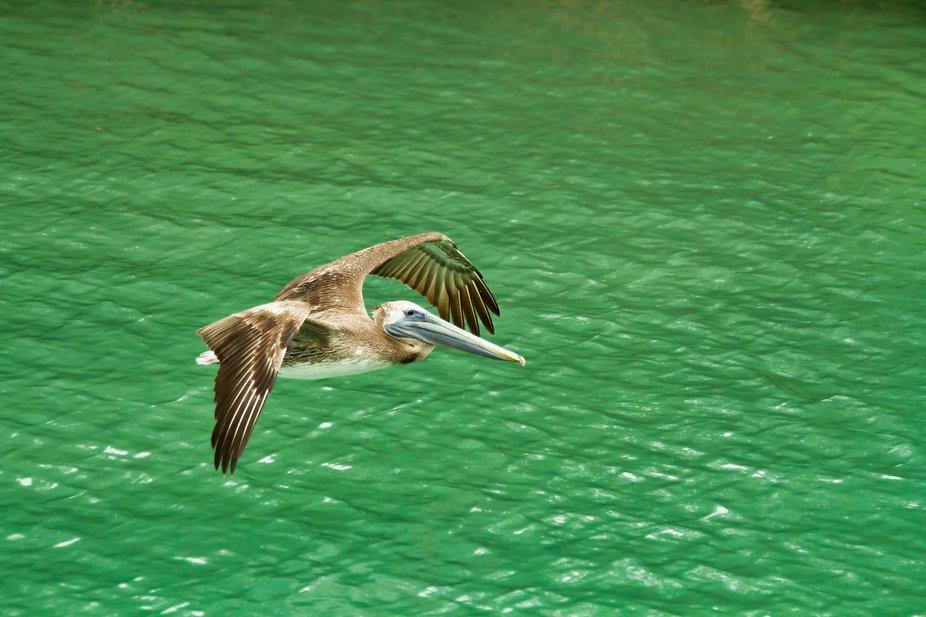 Pelican Aflight