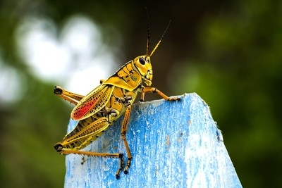 Grasshopper Greeting
