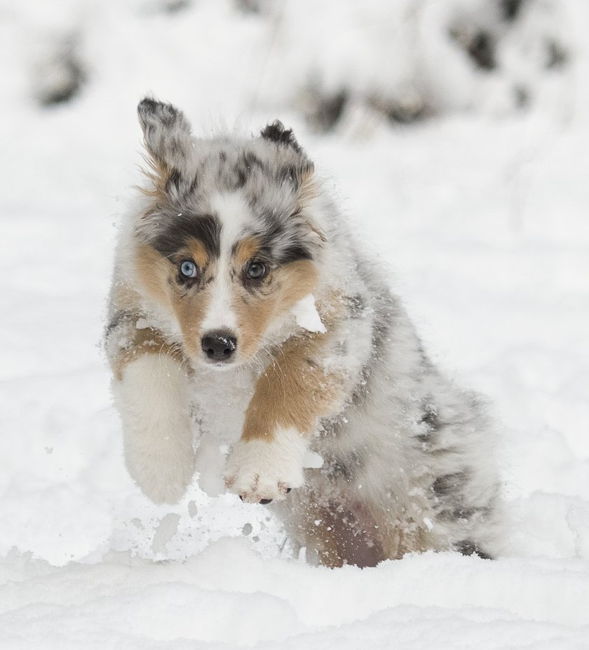 Lola enjoying the snow by richcower - Dogs In Action Photo Contest