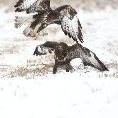 Pareja de Aguilas ratoneras (Buteo buteo), sobre la nieve.Una esta comiendo y otra llega para compartir. Polonia (Region de Kutno).Enero 2019