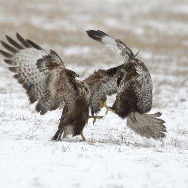 Pareja de Aguilas ratoneras (Buteo buteo), sobre la nieve.En plena pelea por el derecho a comer Polonia (Region de Kutno).Enero 2019