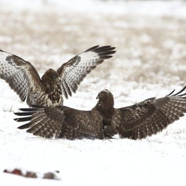 Pelea o disputa de una Pareja de Aguilas ratoneras (Buteo buteo), sobre la nieve.  Polonia (Region de Kutno).Enero 2019