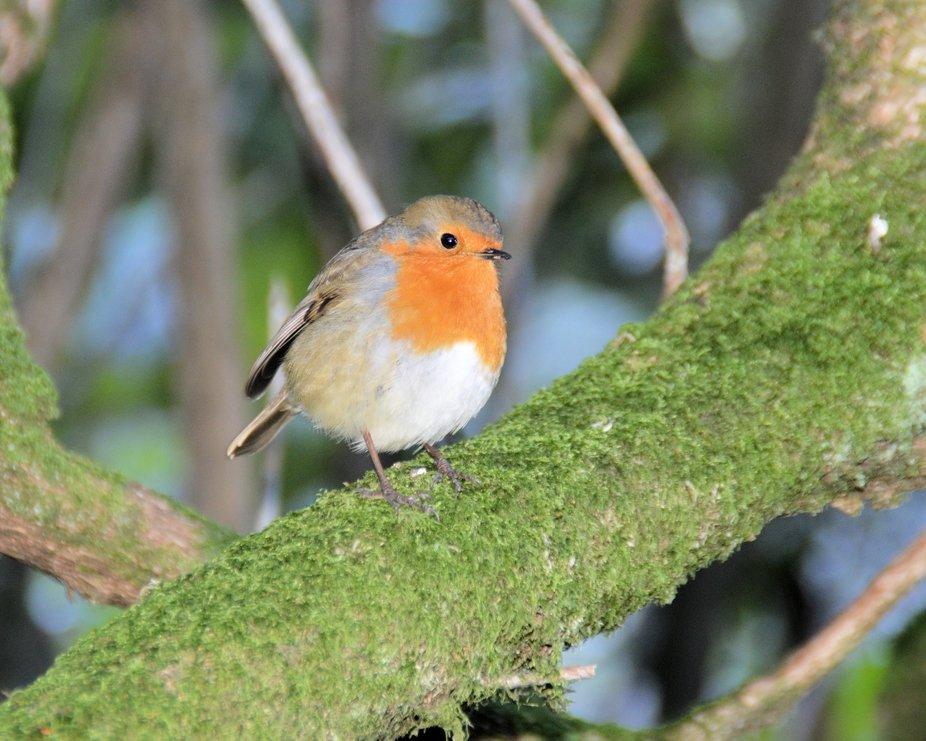 DSC_0207 Friendly Robin
