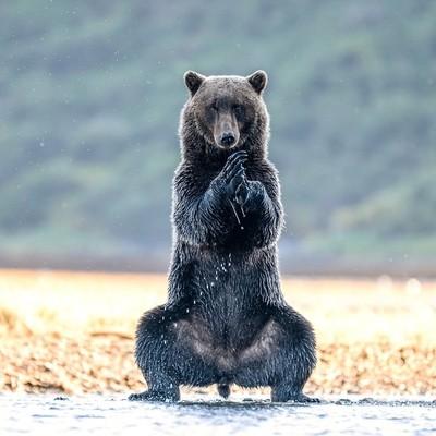 He's not Yogi Bear and he's not Kung Fu Panda… Meet Yoga Bear