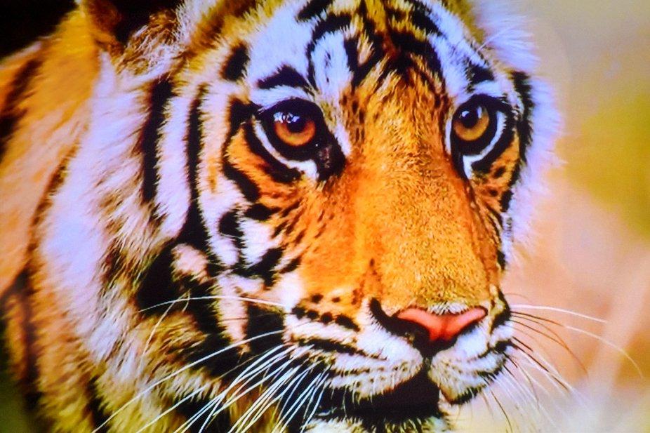 beautiful powerful majestic animal. Love their eyes, Bandipur, karnataka, India