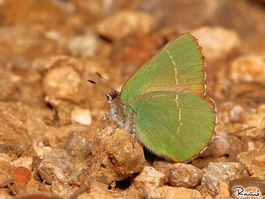 Orden Lepidoptera / SuperFamilia Papilionoidea / Familia Lycaenidae / Subfamilia Lycaeninae / Tri...