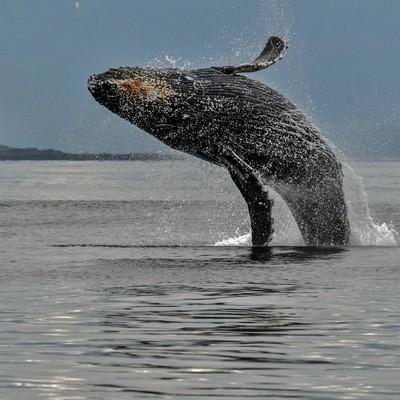 Humpback whale Juneau, Alaska