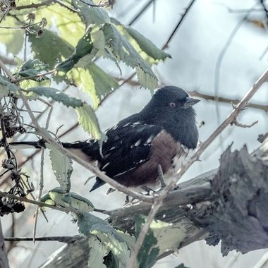 Spotted Towhee 5