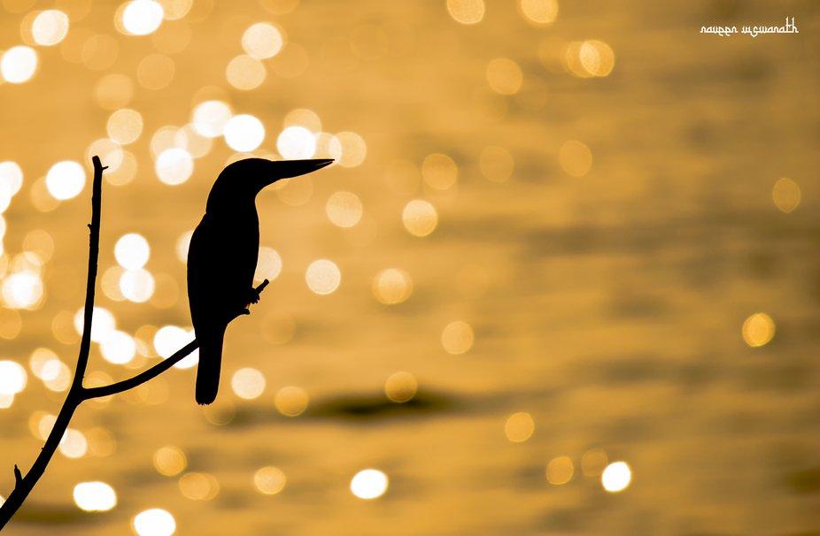 White Throated Kingfisher!