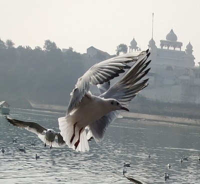 a migratory bird in my locality. SEAGULL