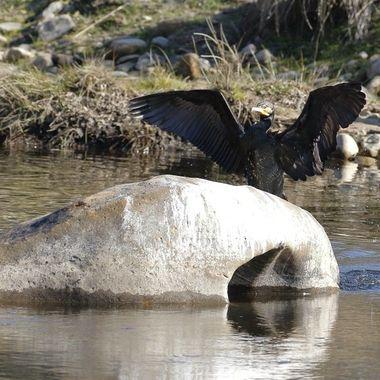 Cormoran comun (Phalocrocorax phalocrocorax),llegando al posadero habitual para secarse las plumas al sol. Rio Alagon (Salamanca.Spain). Tras una red de camuflaje.