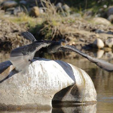 Cormoran comun (Phalocrocorax phalocrocorax),yendose del posadero habitual para secarse las plumas al sol. Rio Alagon (Salamanca.Spain). Tras una red de camuflaje.