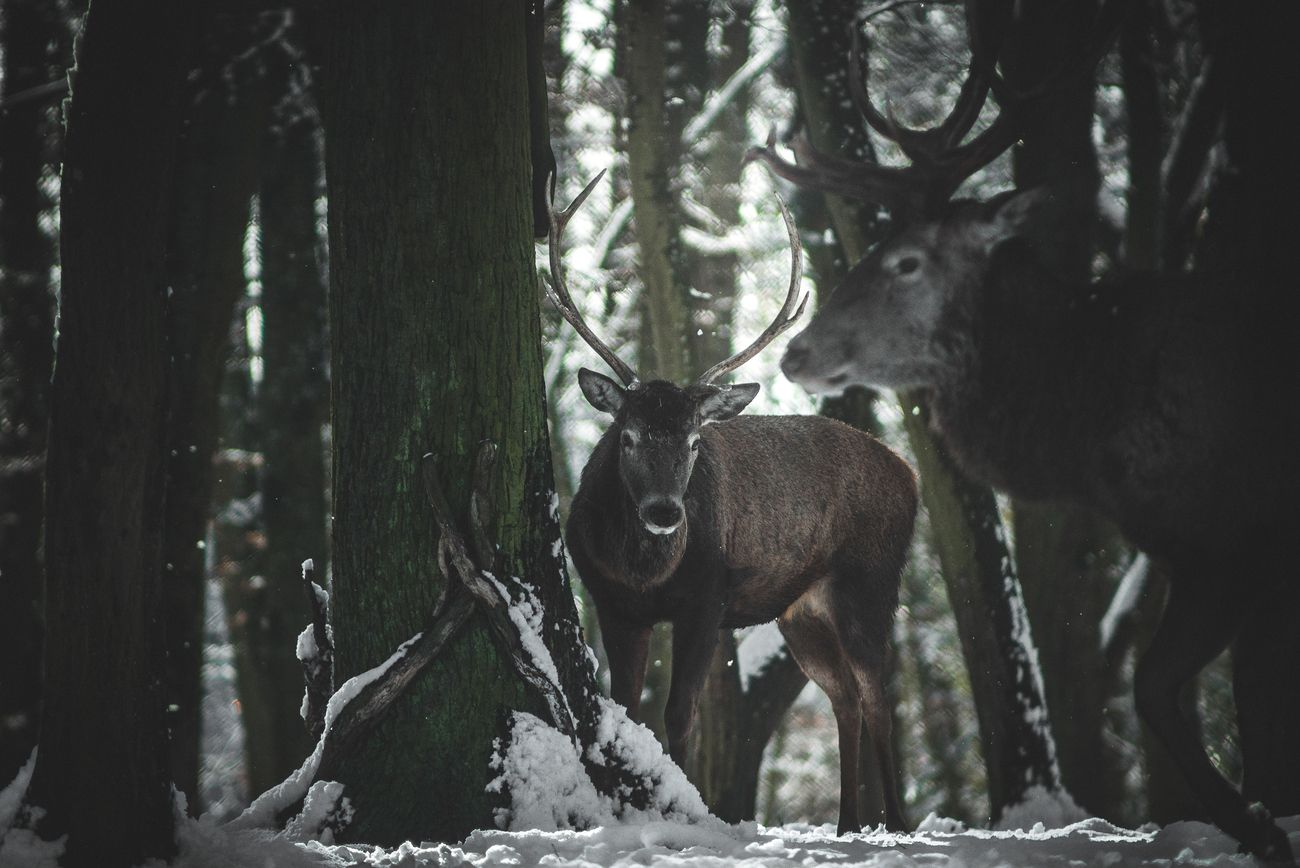 A young deer considering to take the leadership or just admiring the king from a distance ?