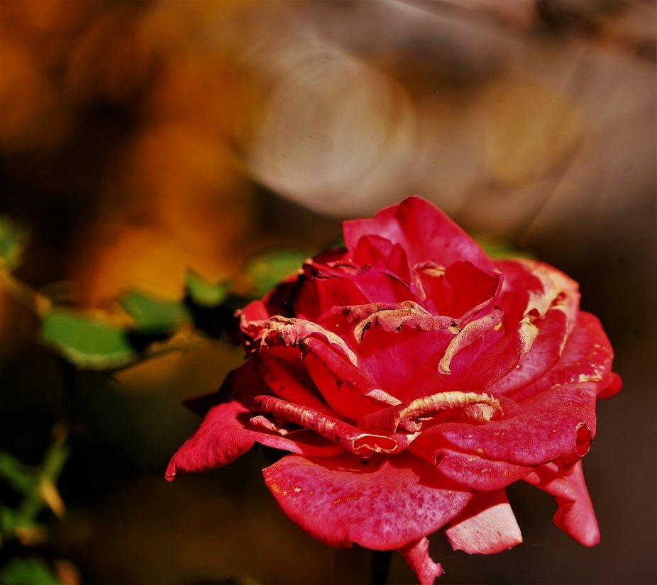 To me this rose symbolized the struggle for life, battling the harsh conditions that leads to the beauty of the rose dying before your eyes.  The time of bloom in all its youth and beauty is so brief.