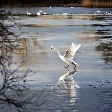 Lovely graceful swan movements on an icy loch