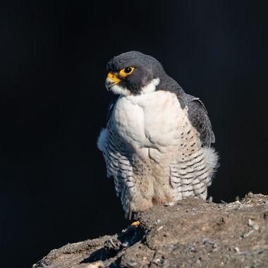 Peregrine Falcon, male - 00092