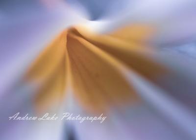 Frangipani Flower Macro