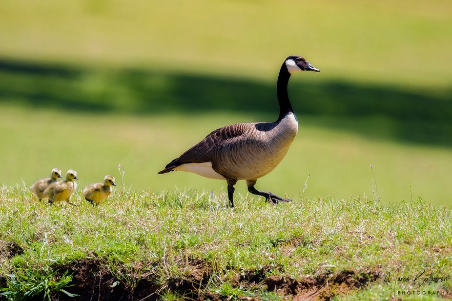 A Canadian Goose and her goslings