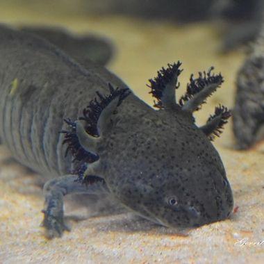 Fish or salamander