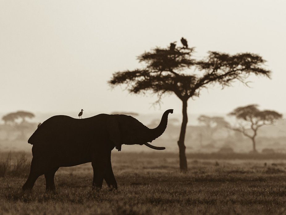 Early in the morning in Amboseli National Park, took this elephant against the rising sun.  The h...
