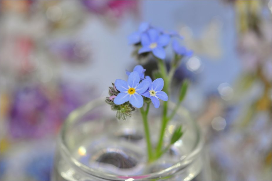 Forget-me-not 1
