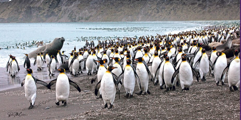 King Penguins and Interloping Elephant Seal, South Georgia Island