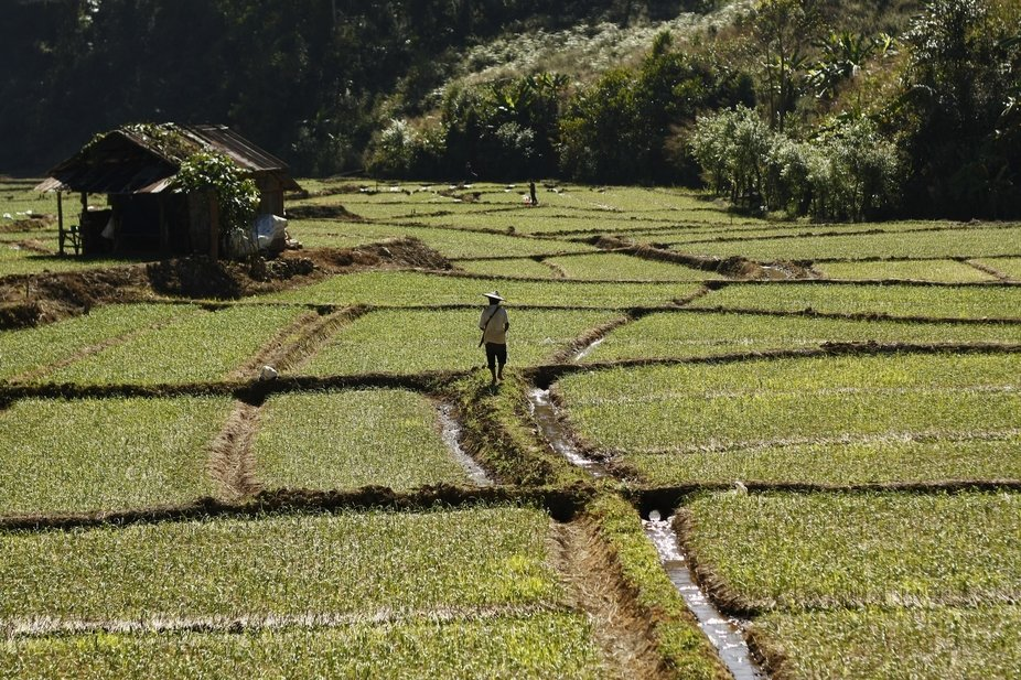 Thai man tending his rice fields