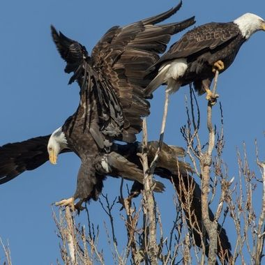 Eagles tussling over a perch