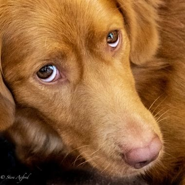 Tonica my Nova Scotia Duck Tolling Retriever.