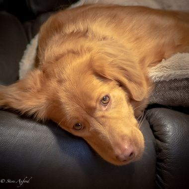 Gin'an my Nova Scotia Duck Tolling Retriever.