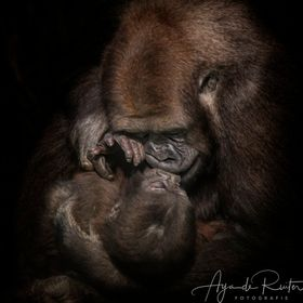 baby gorilla getting cuddled and kissed by mummy