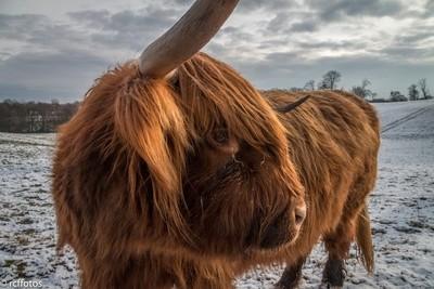 Highland Cattle, Heaton Park, Manchester, January 2019