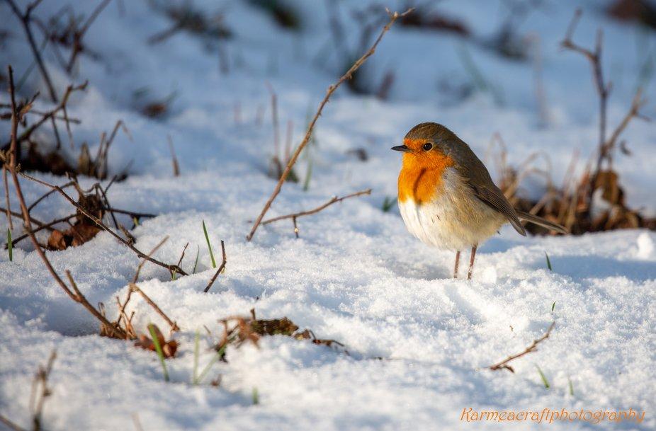 Robin in Snow 1