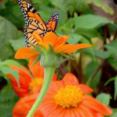 Butterflies llll