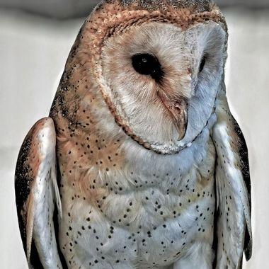 White Barn Owl (3)