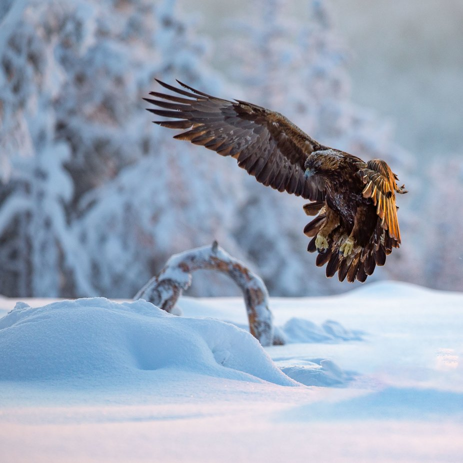 Golden Eagle by Gahpir - Image Of The Month Photo Contest Vol 42