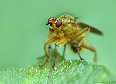 Dung-Fly