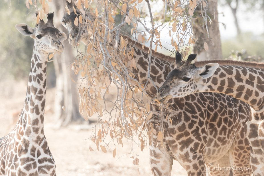 This beautiful family of giraffe were mucnching on leaves at midday...harsh bright light, but sti...