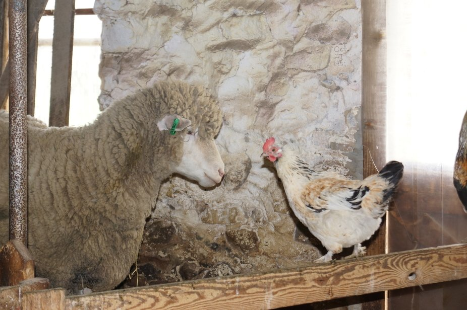 My neighbor raises sheep and he invited me to his house to take some pictures. When we were in th...