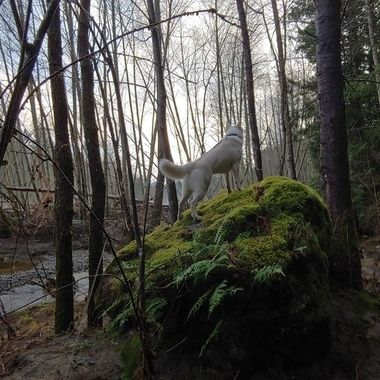 Mowgli being a wolf Top Bridge walk Feb 1, 2019