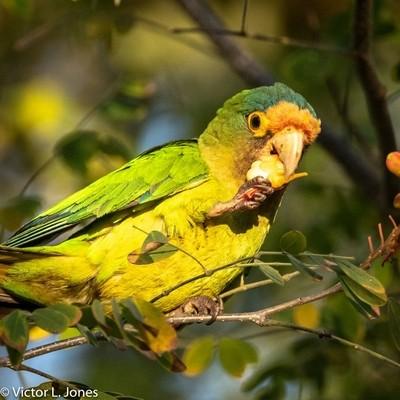 Orange-fronted parakeet - Costa Rica