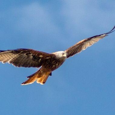 red kite-1295